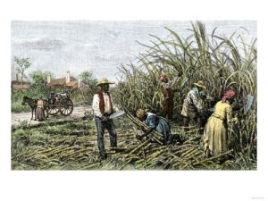 Slaves-harvesting-cane-sugar